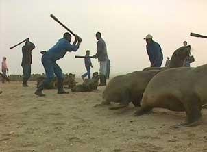 Namibia seal hunt