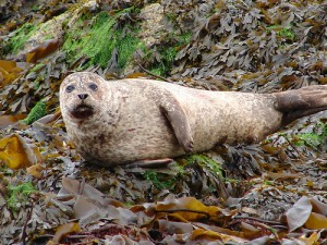 Seal at Isle of Syke - Used under creative commons licence - attributed to Antony Stanley