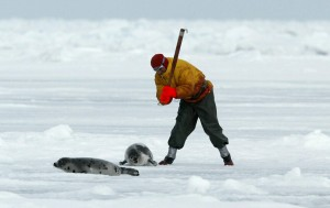 A sealer clubs a baby seal