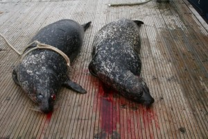 Two shot seals lie on the quayside
