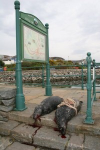 dead seals on the quayside